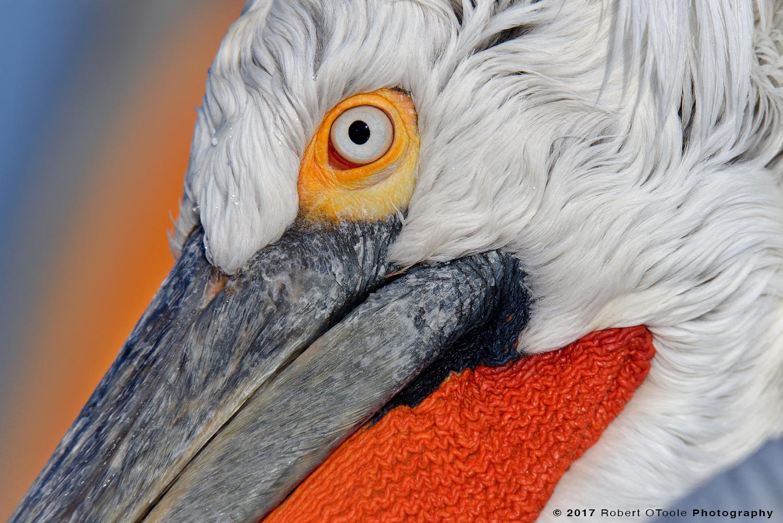 Dalmatian Pelican  Ultra Portrait