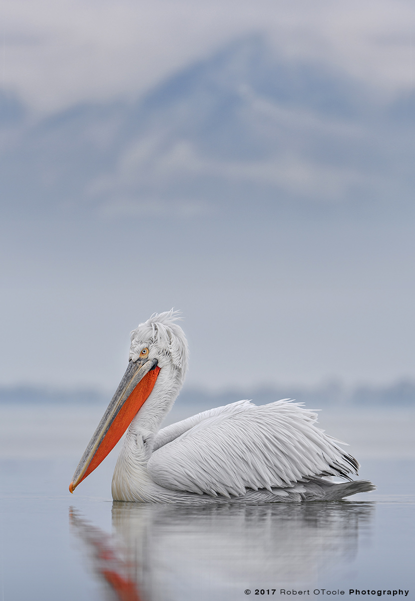 Dalmatian Pelican with Mountains in the Background