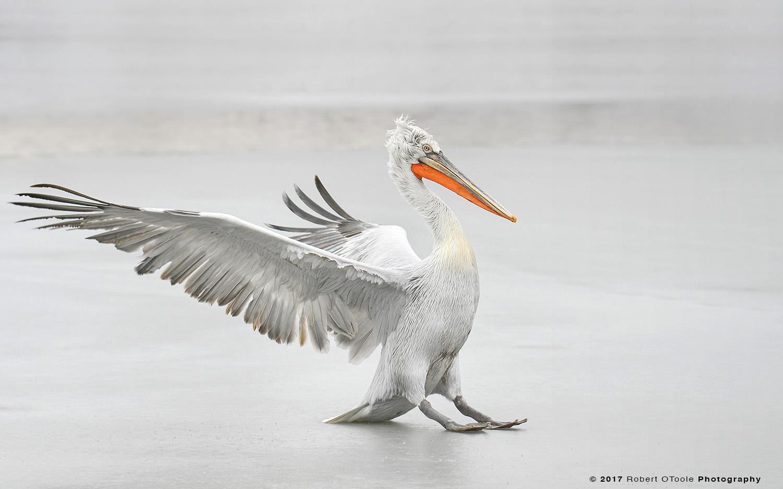 Dalmatian Pelican Skidding on Ice