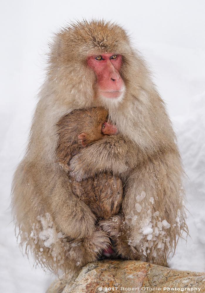 Snow Monkeys Embrace to Keep Warm