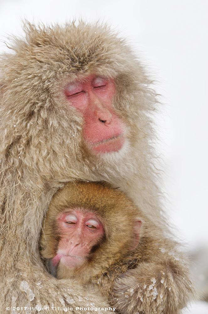 Snow Monkey Napping While Nursing