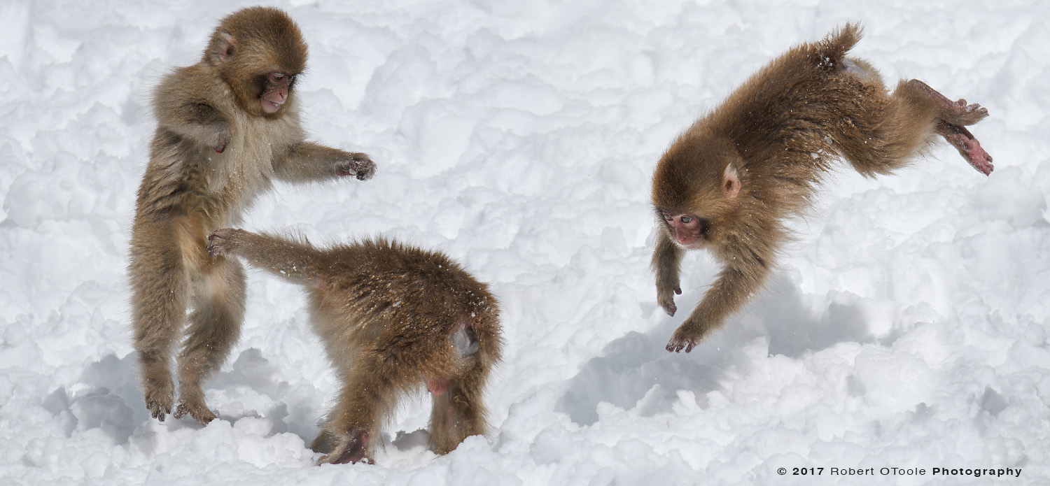 Snow Monkeys Playing in Snow