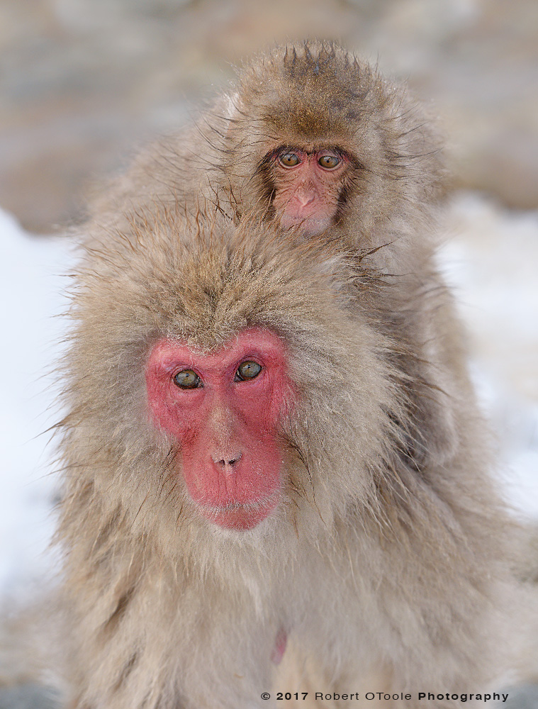 Young Snow Monkey Riding Behind the Neck of an Adult