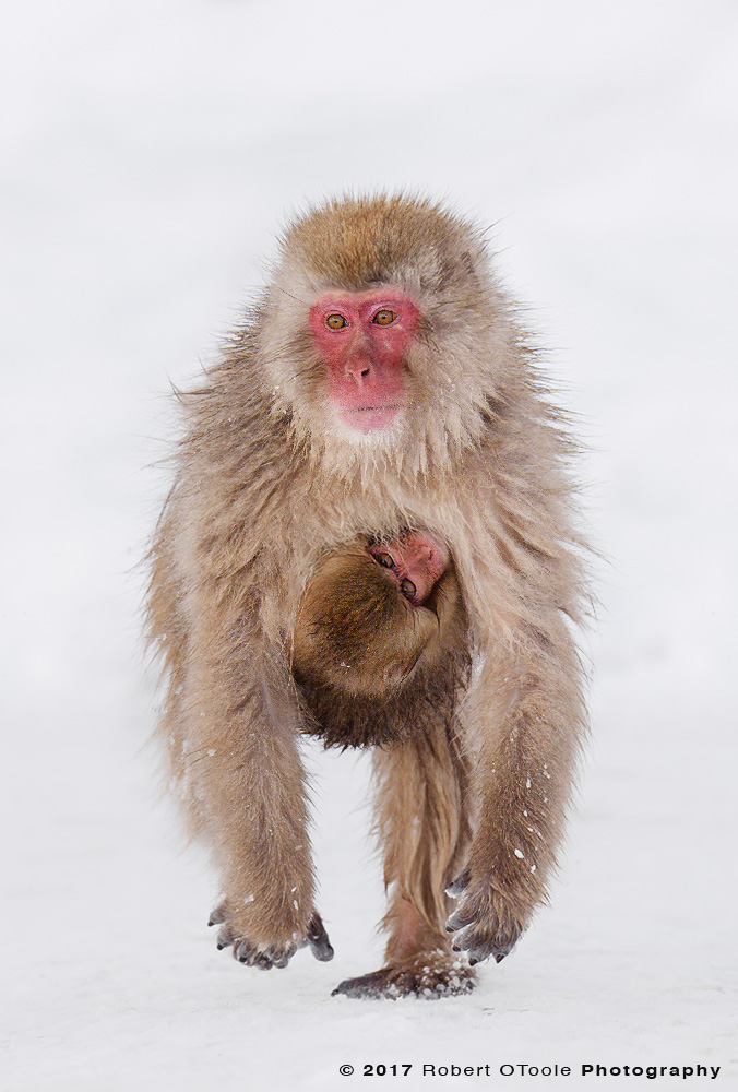 Snow Monkey Running with Infant Clinging to its Chest