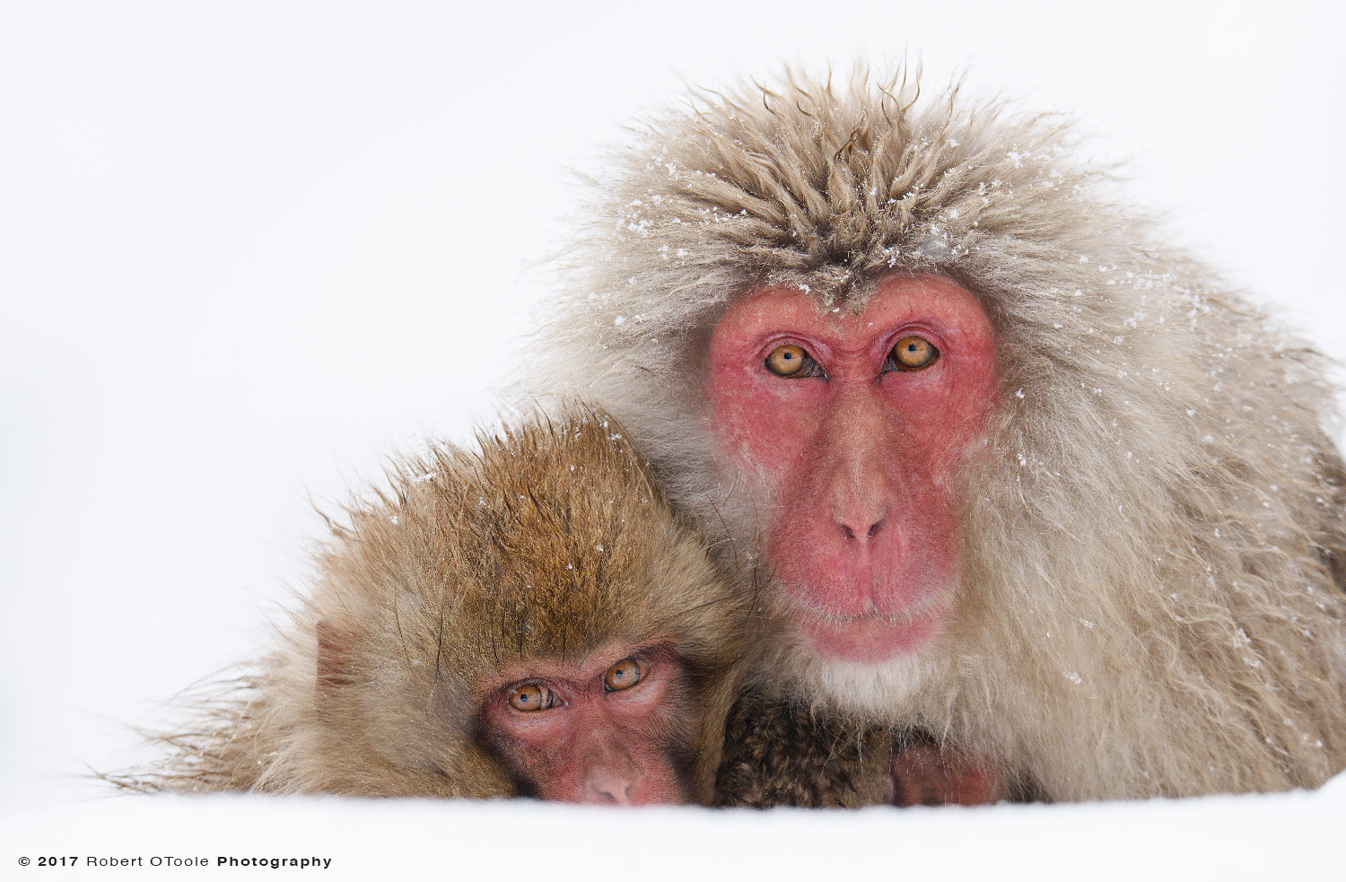 Mature Snow Monkey with Younger Monkeys Looking up in the snow