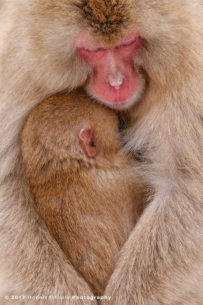 Snow Monkey Sleeping Together Embracing