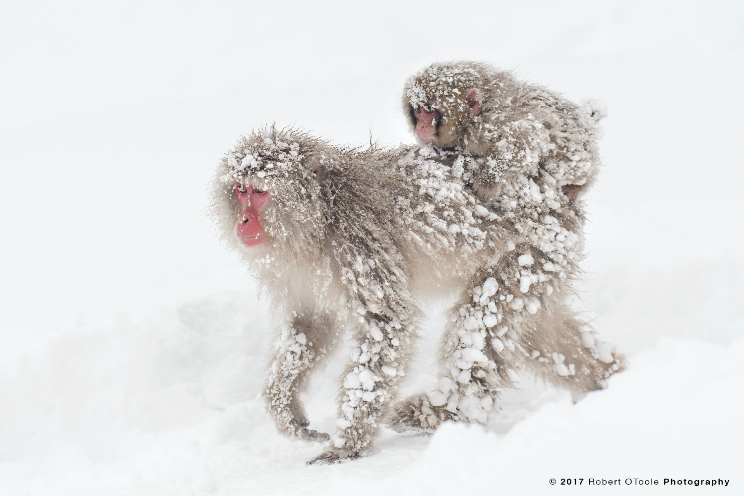 Infant Snow Monkey Riding Adult After a Blizzard