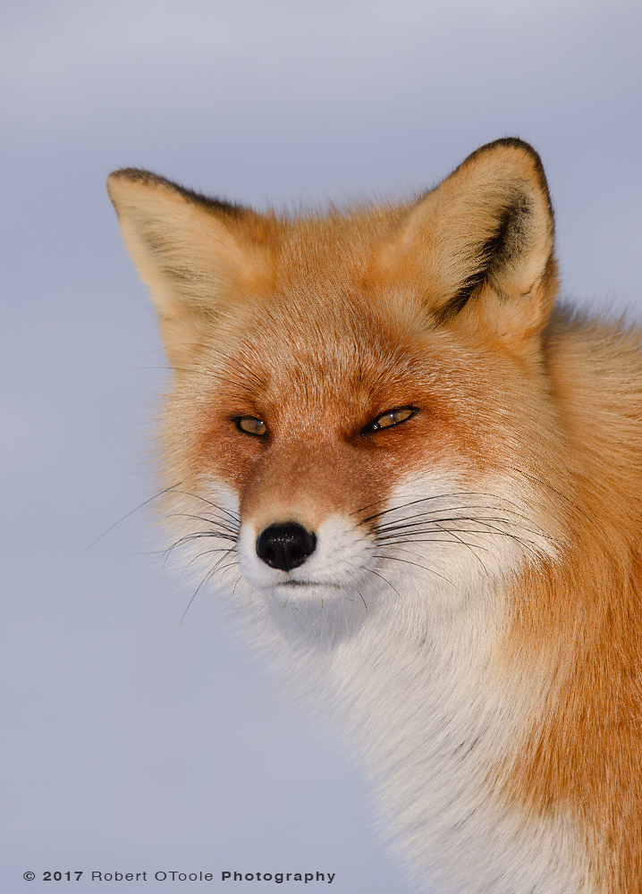 Red Fox Portrait in Perfect Afternoon Light