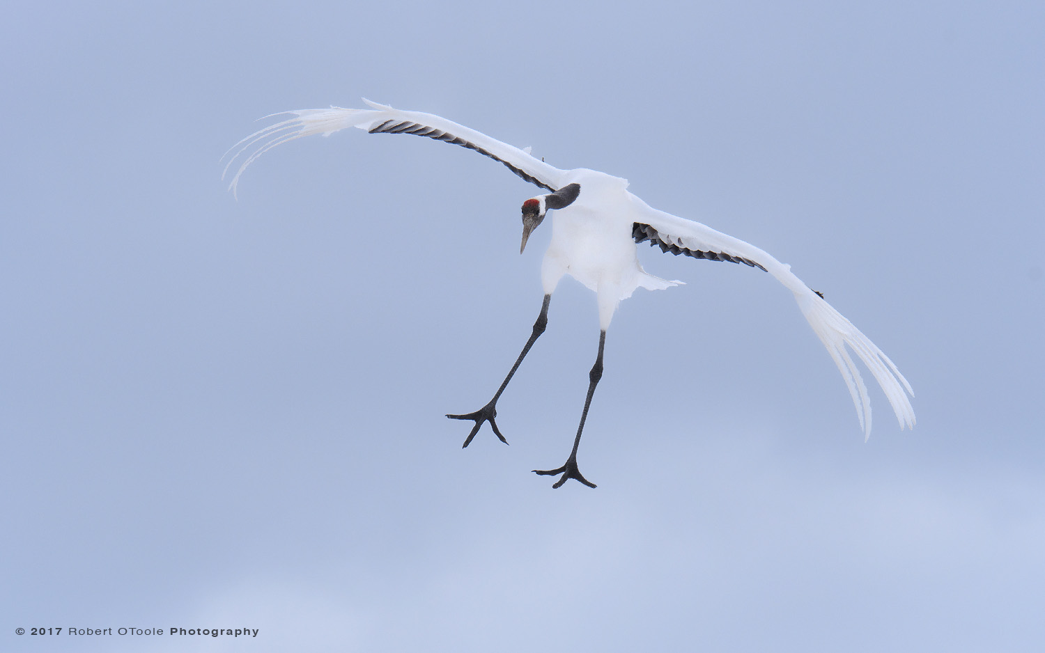 Japanese Red-Crowned Crane Parachuting Against Storm Clouds