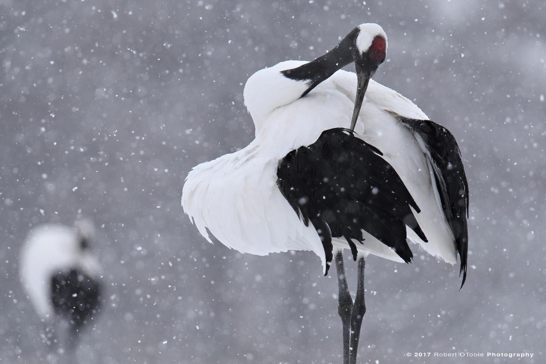 Japanese Red-Crowned Crane Preening in Falling Snow
