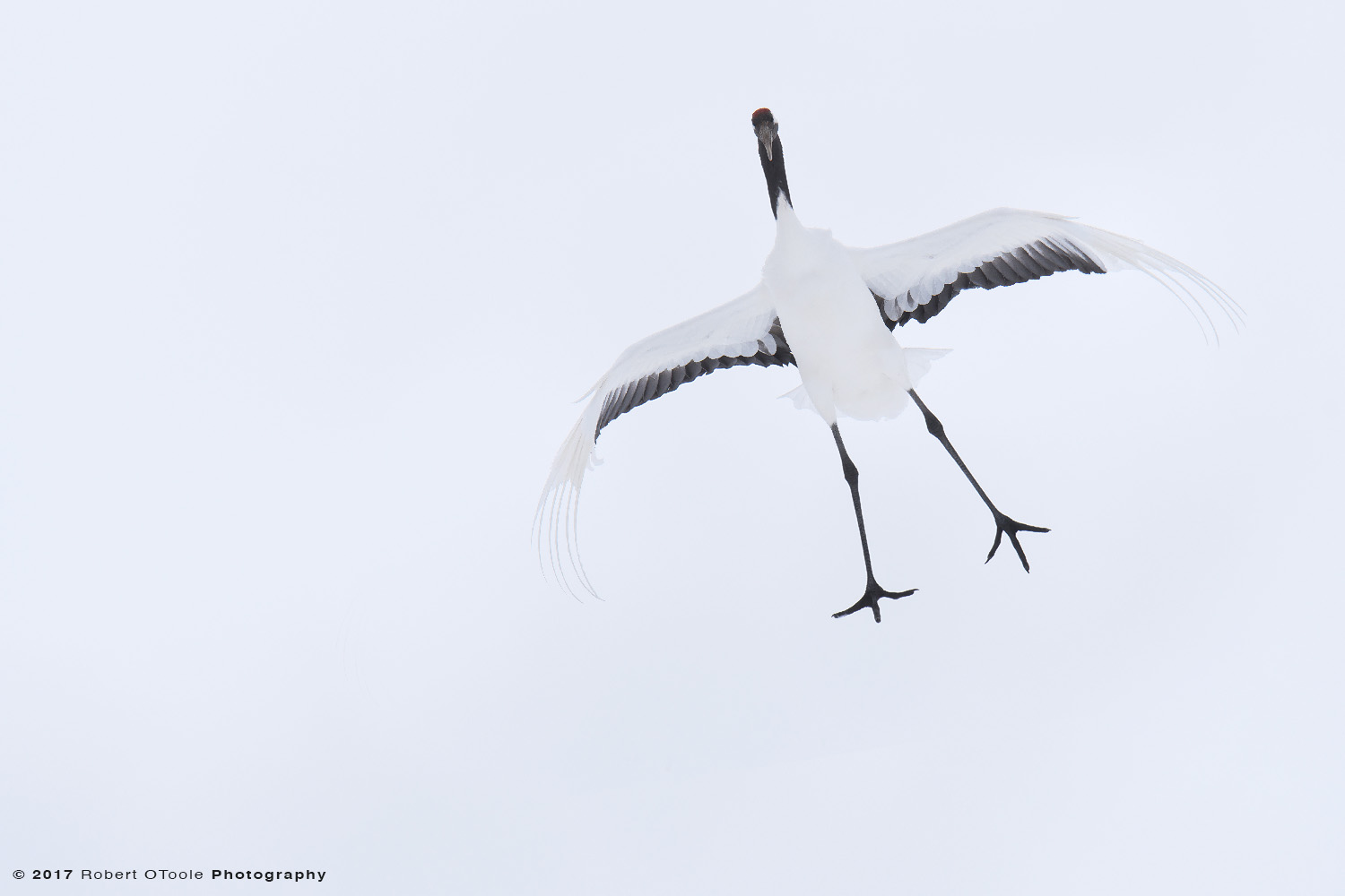 Japanese Red-Crowned Crane Sky Fall Drop