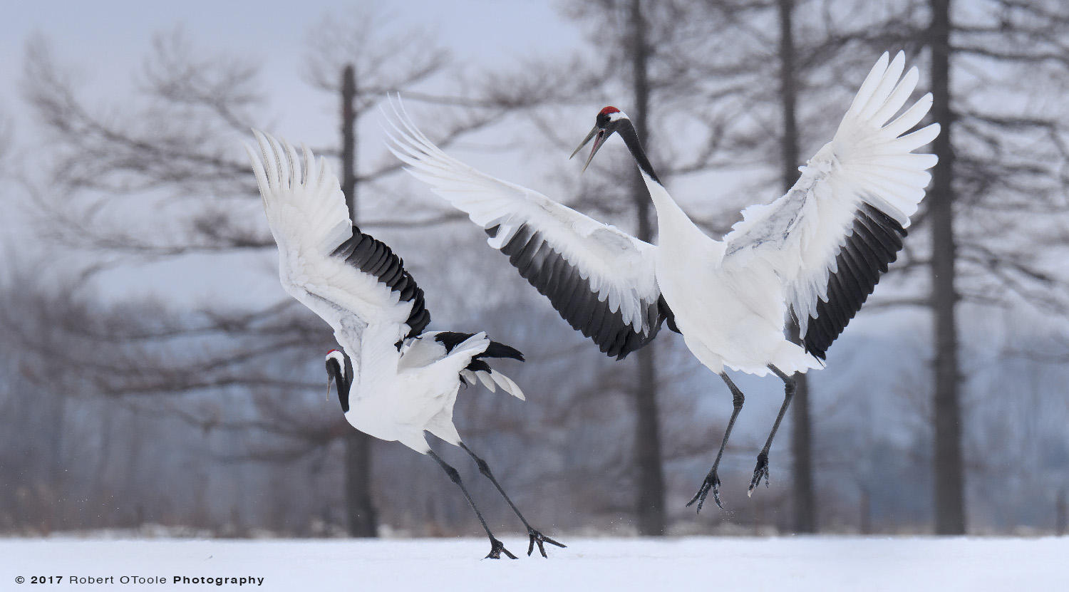 Japanese Red-Crowned Cranes Jumping practice