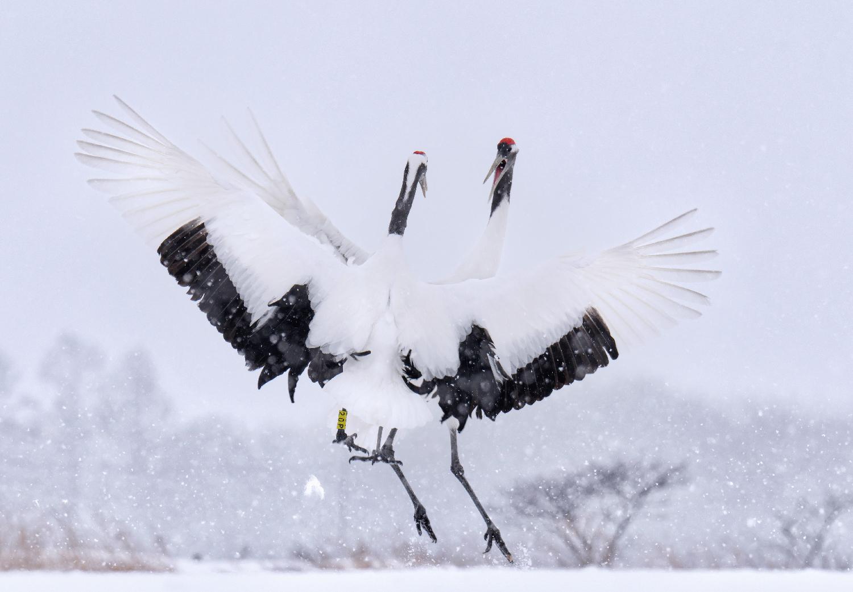 Japanese Red-Crowned Cranes Display