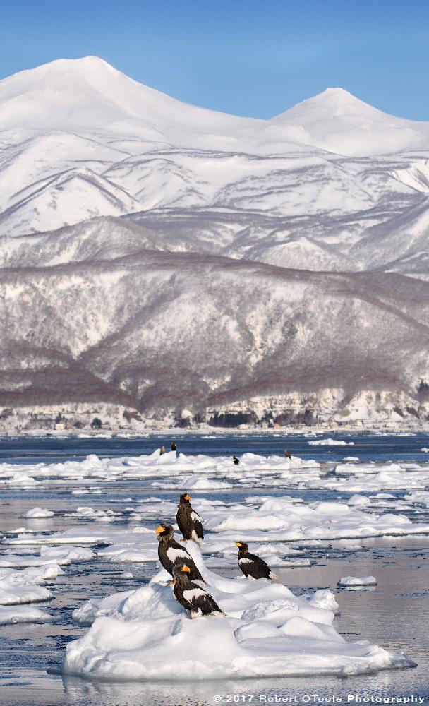Stellers Sea Eagle on Sea Ice and Shiretoko Mountain Range