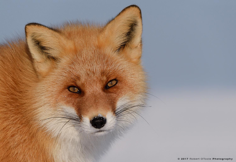 Hokkaido Red Fox Beach Portrait