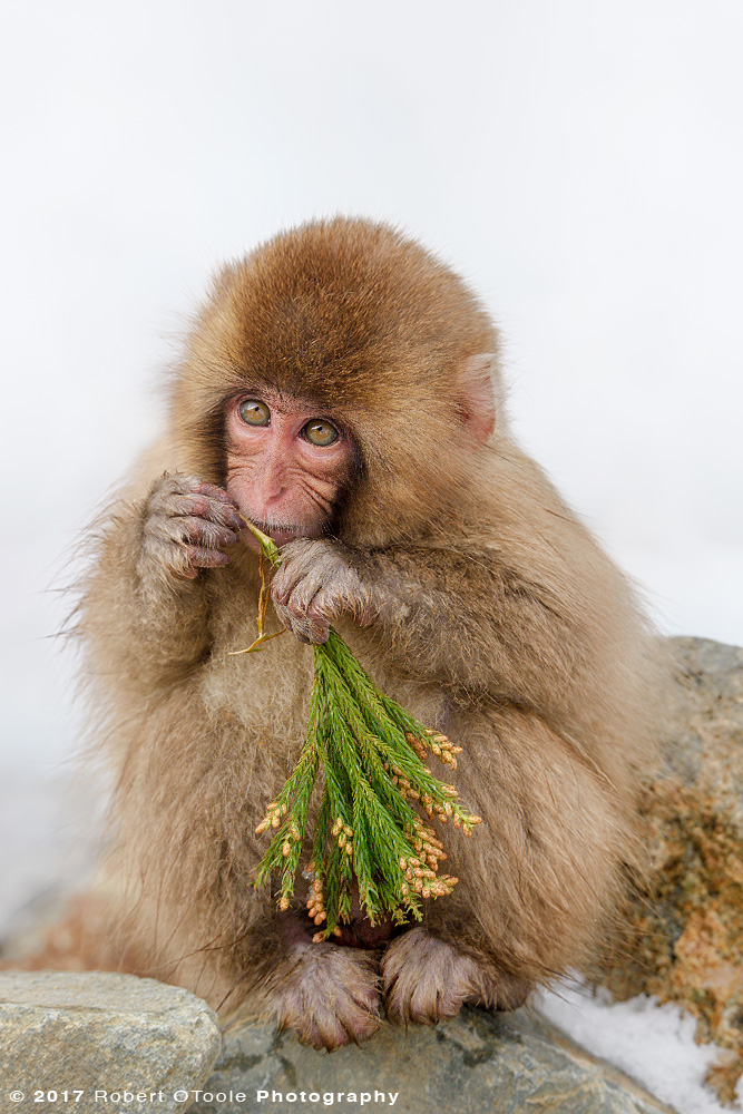 Young snow monkey snacking on a fresh spruce twig with buds at the snow monkey park. Sigma 150-600 sports lens @ 350mm and Nikon D810, 1/500s, f/8, ISO 500, handheld, Manual mode, +0.7.