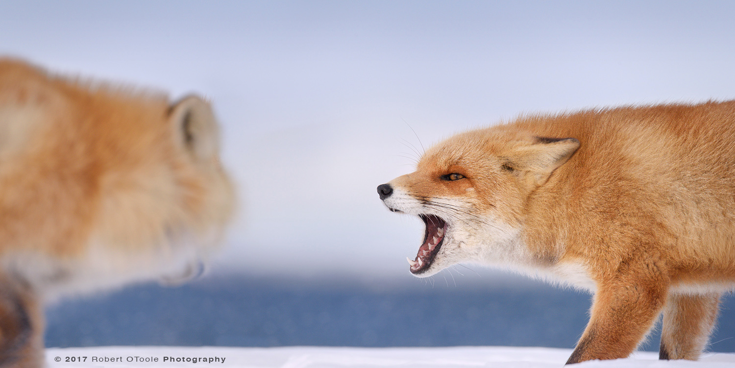 Hokkaido fox confrontation on the beach with a out-of-focus Russian volcano in the background, Hokkaido, Japan. Sigma 150-600 sports lens @ 500mm and Nikon D810, 1/1250s, f/8, ISO 560, handheld, Manual mode, +0.3.