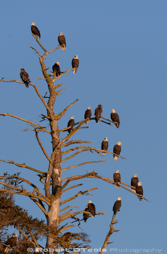 Eagles congregation in perfect late afternoon light. Sigma 150-600 S at 250mm 1/500s f/7.1 ISO 400 manual mode handheld
