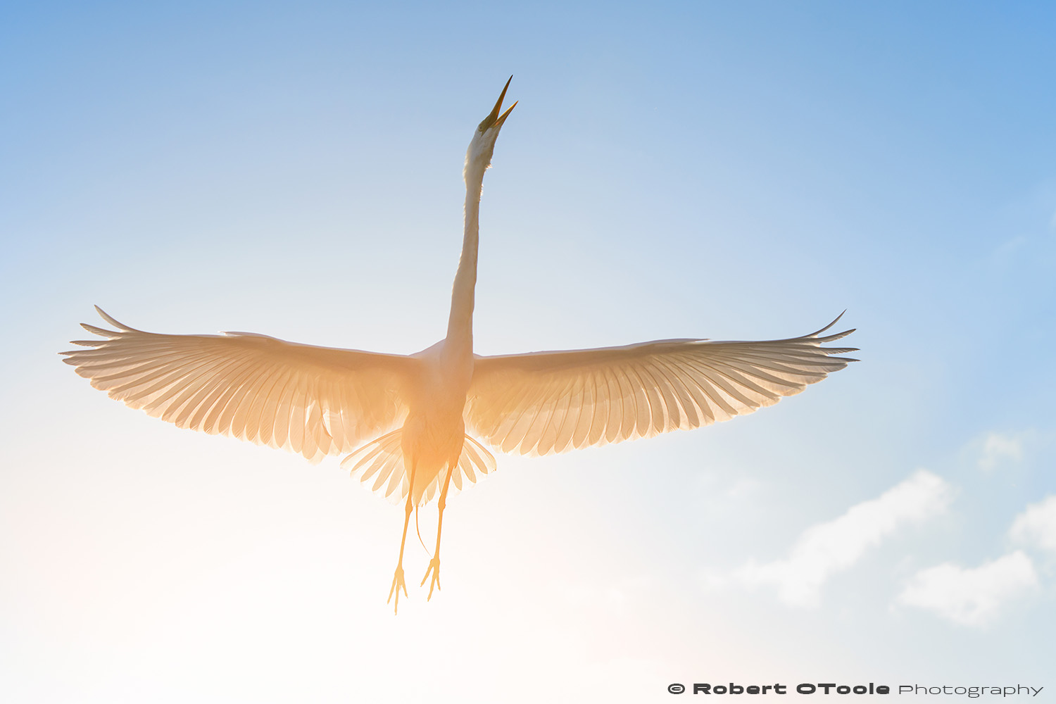 Great egret incoming at sunset Sigma 120-300 S @120mm Nikon D810 1/1250 f/5.6 ISO 400 manual mode SB800 flash