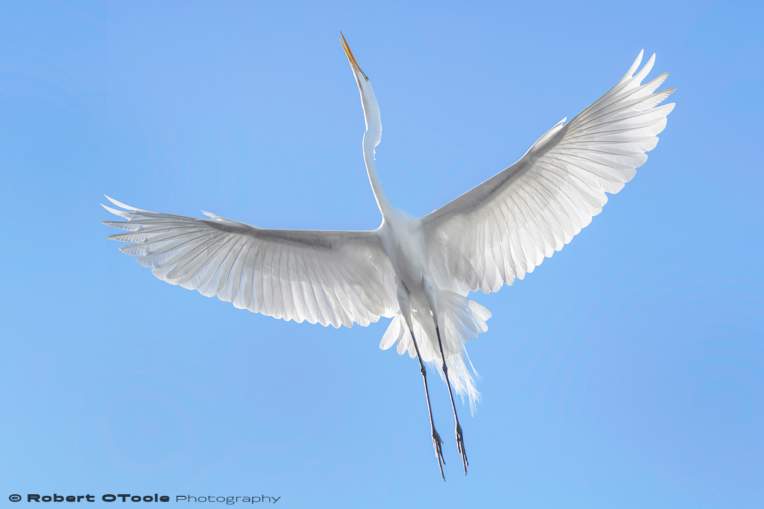 Great egret backlit flash fill landing Sigma 120-300 S @120mm Nikon D500 1/1250 f/4.5 ISO 400 manual mode SB800 flash