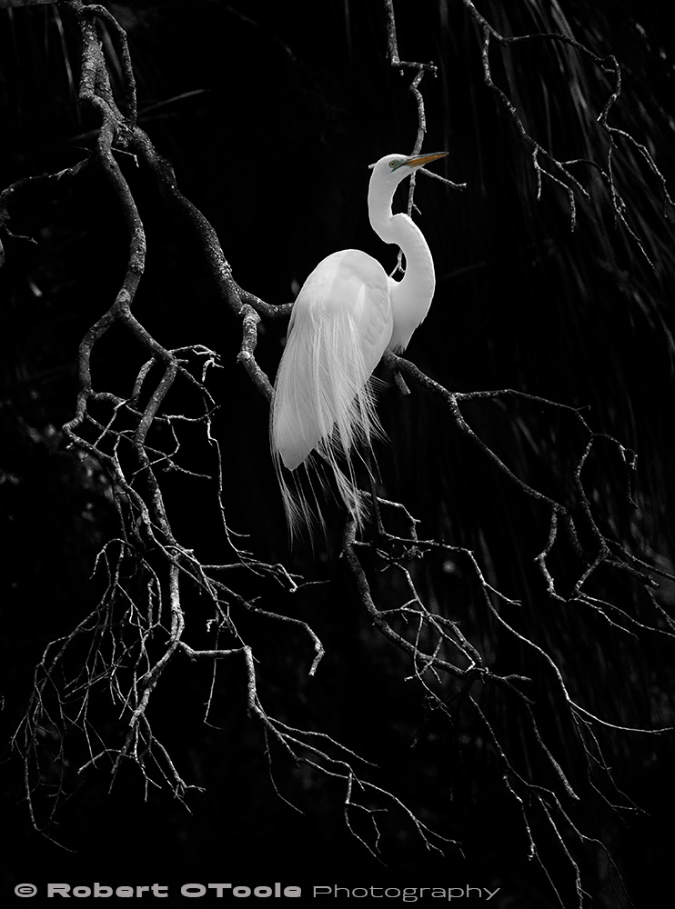 Great egret low key Sigma 120-300 S @175mm Nikon D500 1/2000 f/5.6 ISO 400 manual mode SB800 flash