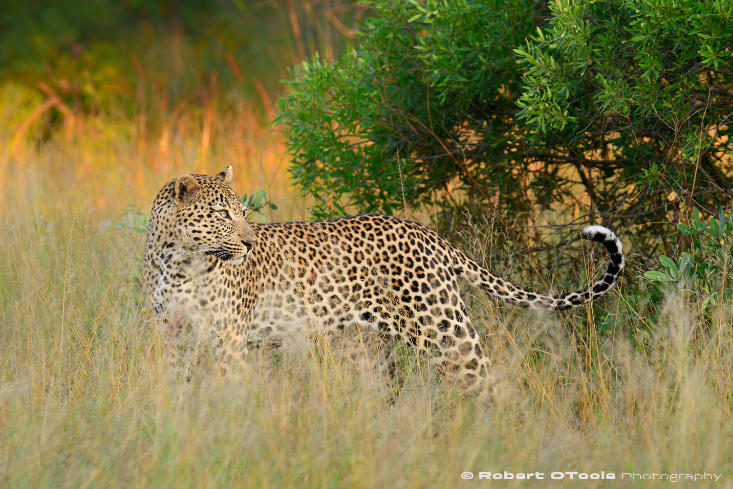 Leopard out on a early morning hunt Nikon D500 Sigma 120-300 f/2.8 S @ 220mm 1/500s f/4 ISO 400 manual mode handheld