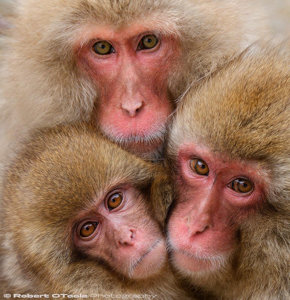 Three-snow-monkeys-up-close-Nagano-Japan-2018-Robert-OToole-Photography.JPG