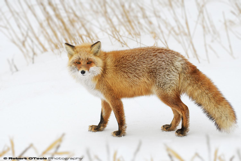 Hokkaido-Fox-Shinbetsu-Japan-2018-Robert-OToole-Photography.jpg