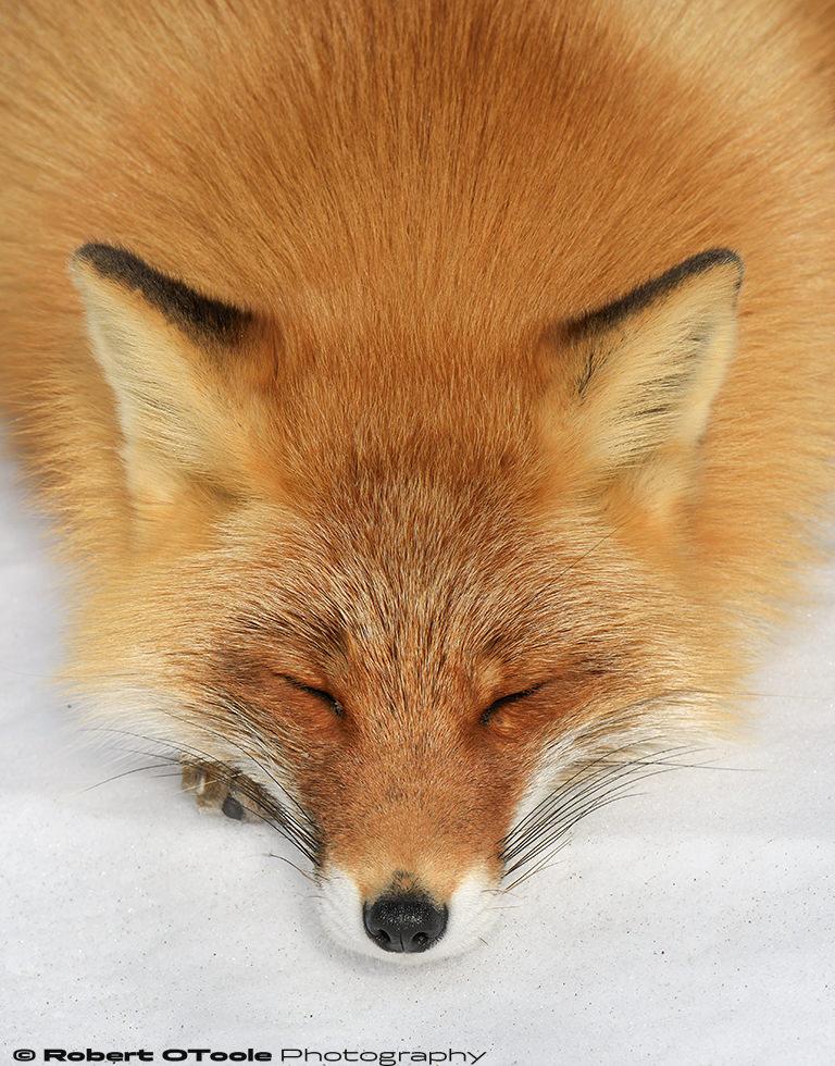 Fox-sleeping-Shinbetsu-Japan-2018-Robert-OToole-Photography.jpg