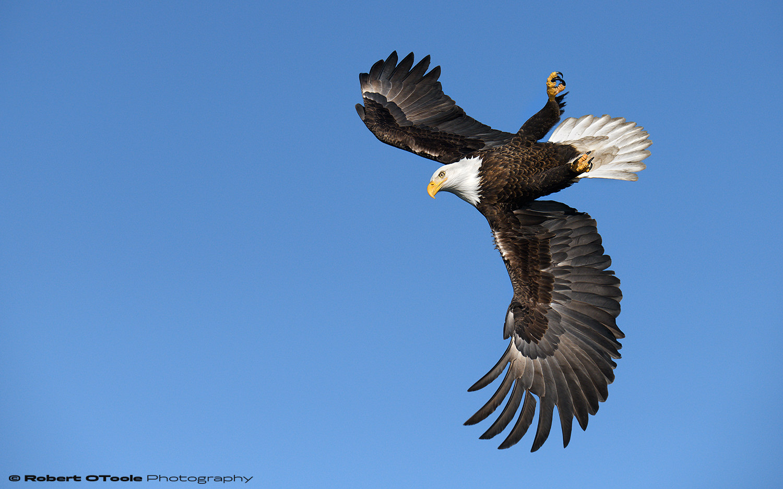 Bald eagle inverted bank. Nikon D850 with Sigma 150-600 Sports lens at 270mm 1/4000th sec at f/8 ISO 400 handheld and manual mode.
