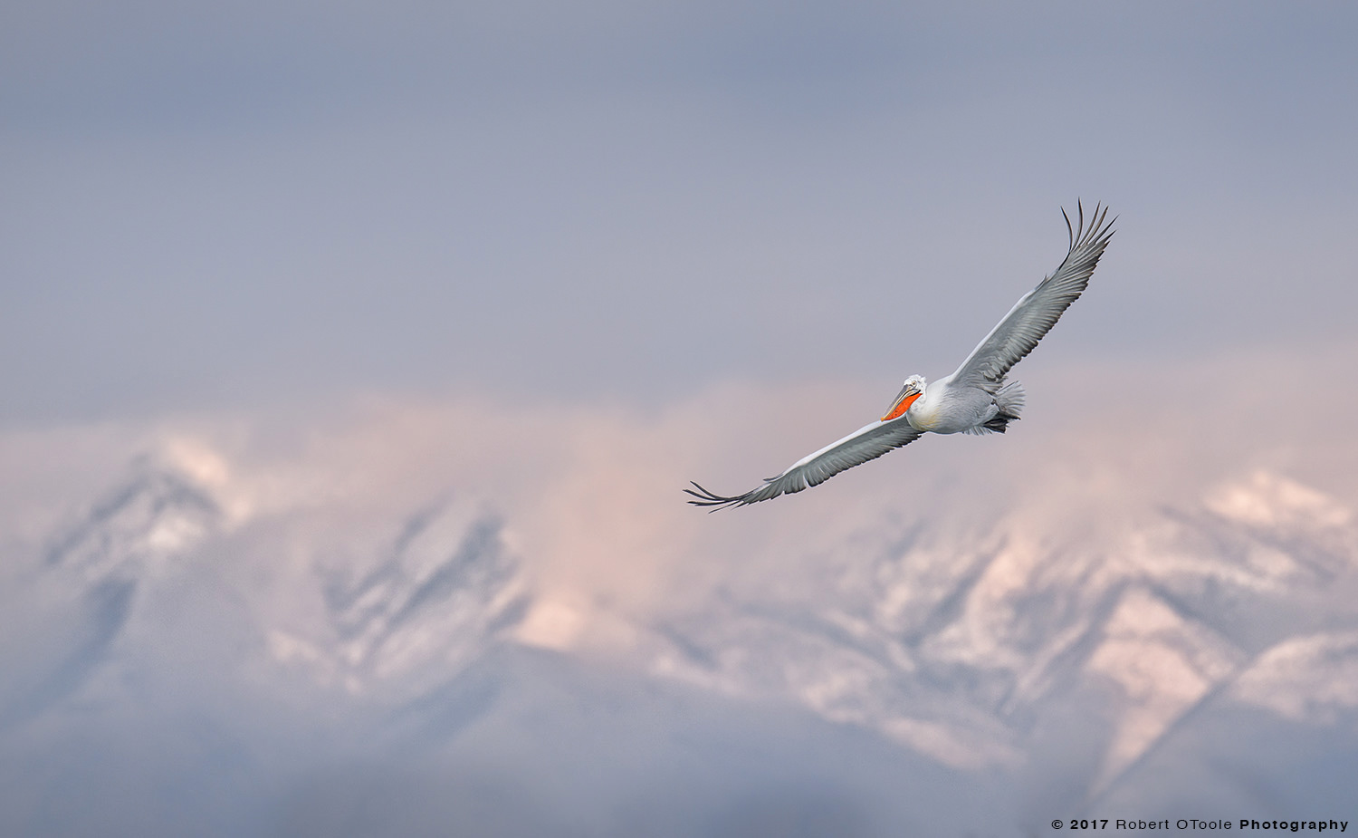 Dalmatian Pelican Flying against Mountains