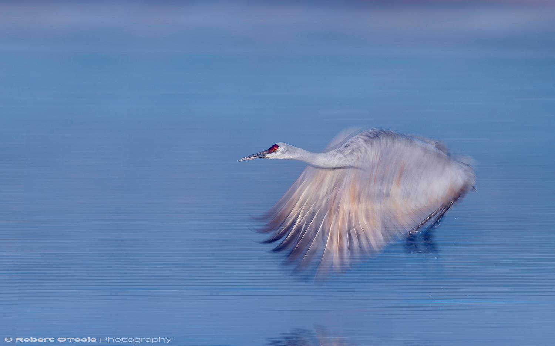 Crane-Blue-pool-speed-blur-Bosque-2018-Robert-OToole-Photography-Bk.jpg