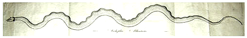 A Linnaean Society illustration of the Scoliophis atlanticus via  Wikimedia Commons