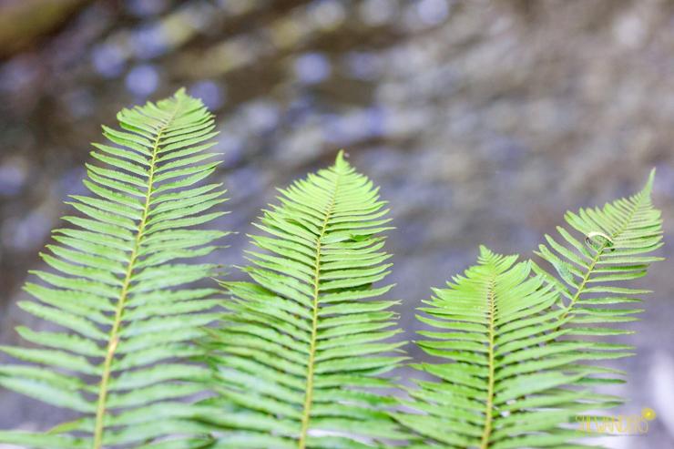 GreenLeavesHikingSanDiegoWeddingPhotographyShewandersPhotography.jpg