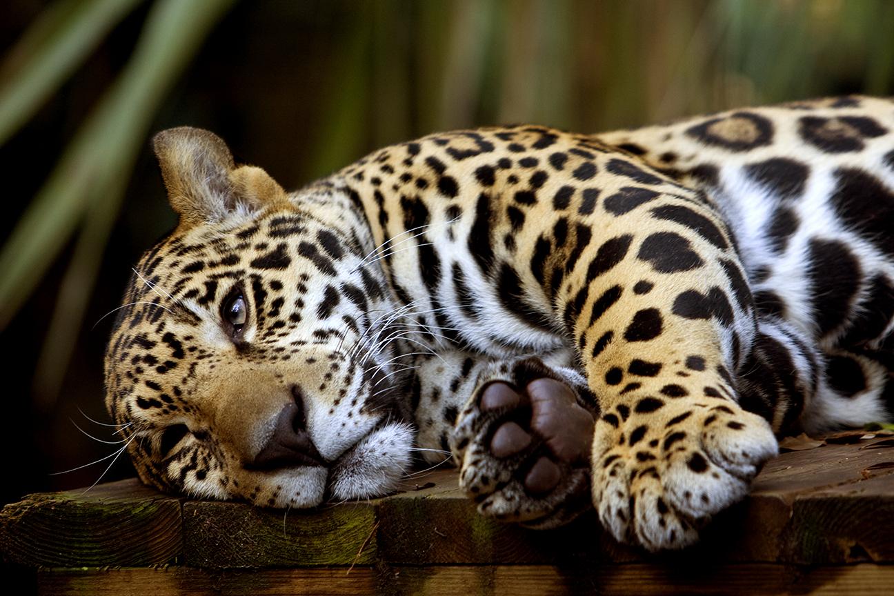 Jaguar_.jpg