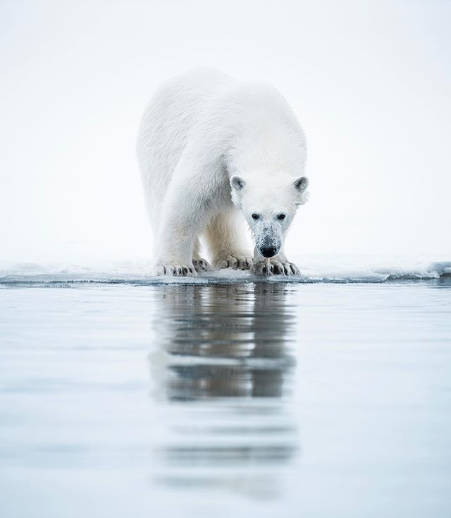 An incredible encounter with a Polar Bear at edge of the Spring season fast ice. @visitsvalbard