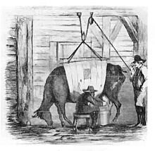 """A 19th century illustration of """"swill milk"""" being produced: a sickly cow being milked while held up by ropes [Wikipedia]"""