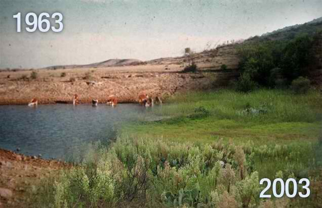 same piece of land in mexico, 1963 and 2003. The difference is they increased the head of cattle and moved them in a grazing pattern as if predators were abound. no synthetic fertilizers, no animal removal, no conservation work. this was all done by the natural benefit of big grazers tilling and fertilizing the land.