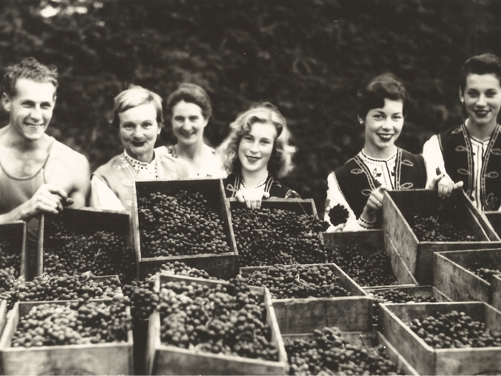 Mazurans Vineyards grape picking vintage from the 1950s