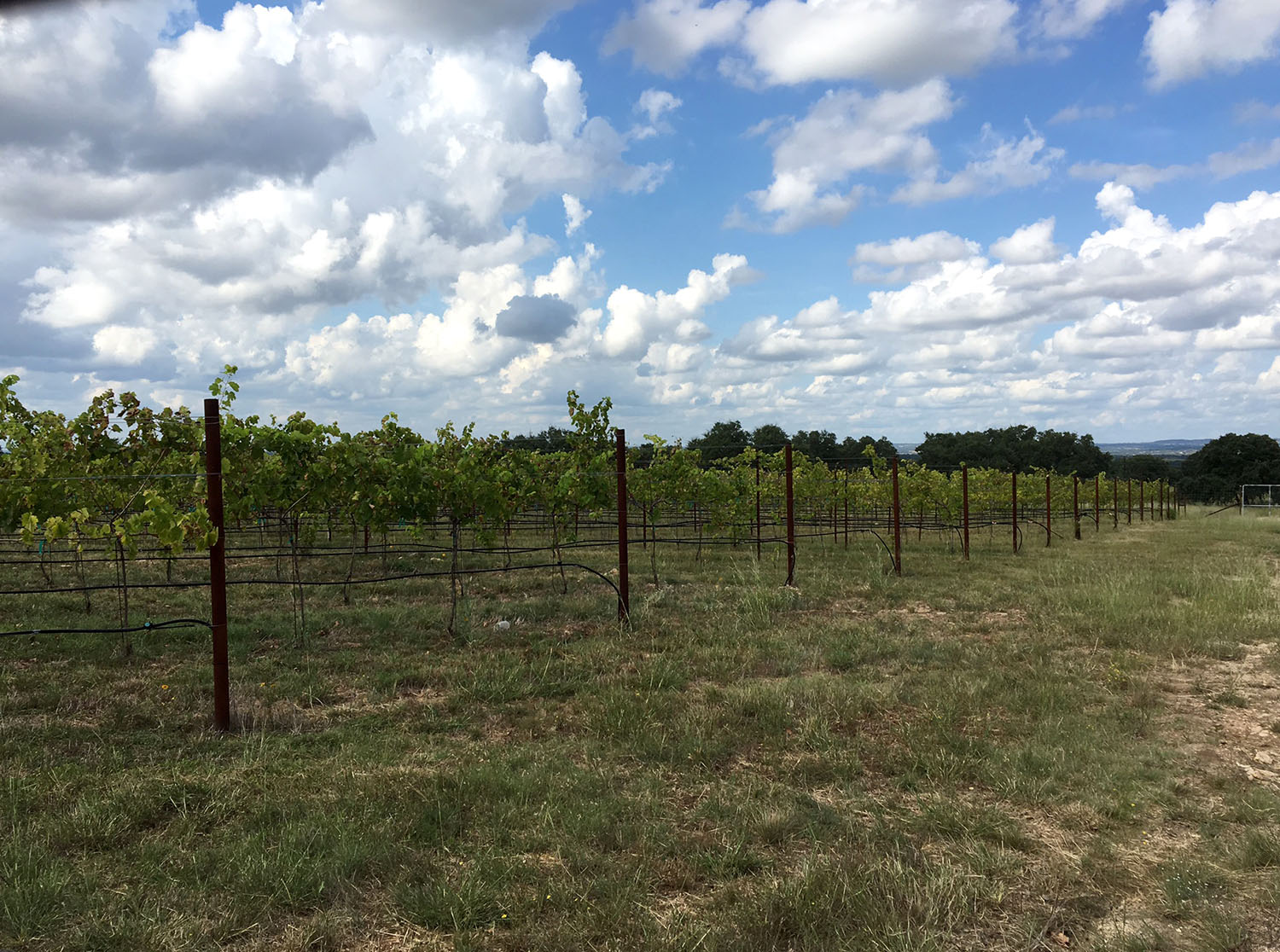 lewis wines vineyards_texas