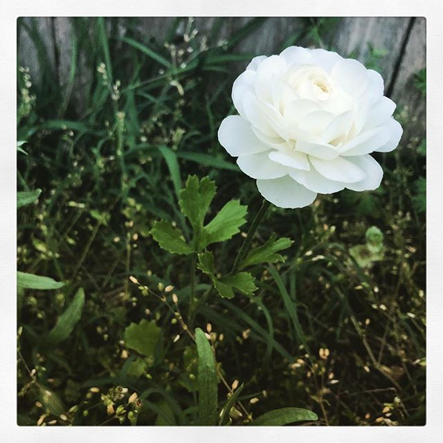 One of the purdiest flowers I've ever grown. A ranunculus. So fun to watch surprises sprout up from seeds I've just kinda messily thrown into the ground. Kind of my life in a nutshell. Thanks @ebonyporter for the seeds! Hope more come into bloom! #ranunculus #inmygarden #spring #blooms #budaful