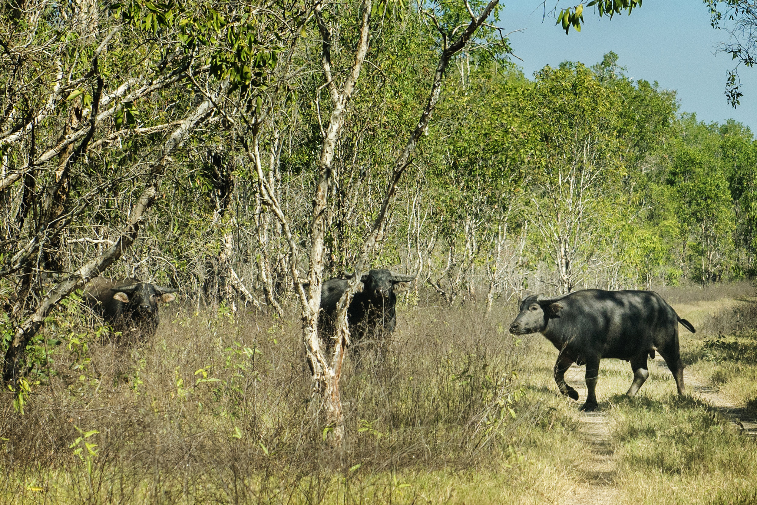 Water Buffalo on the Track