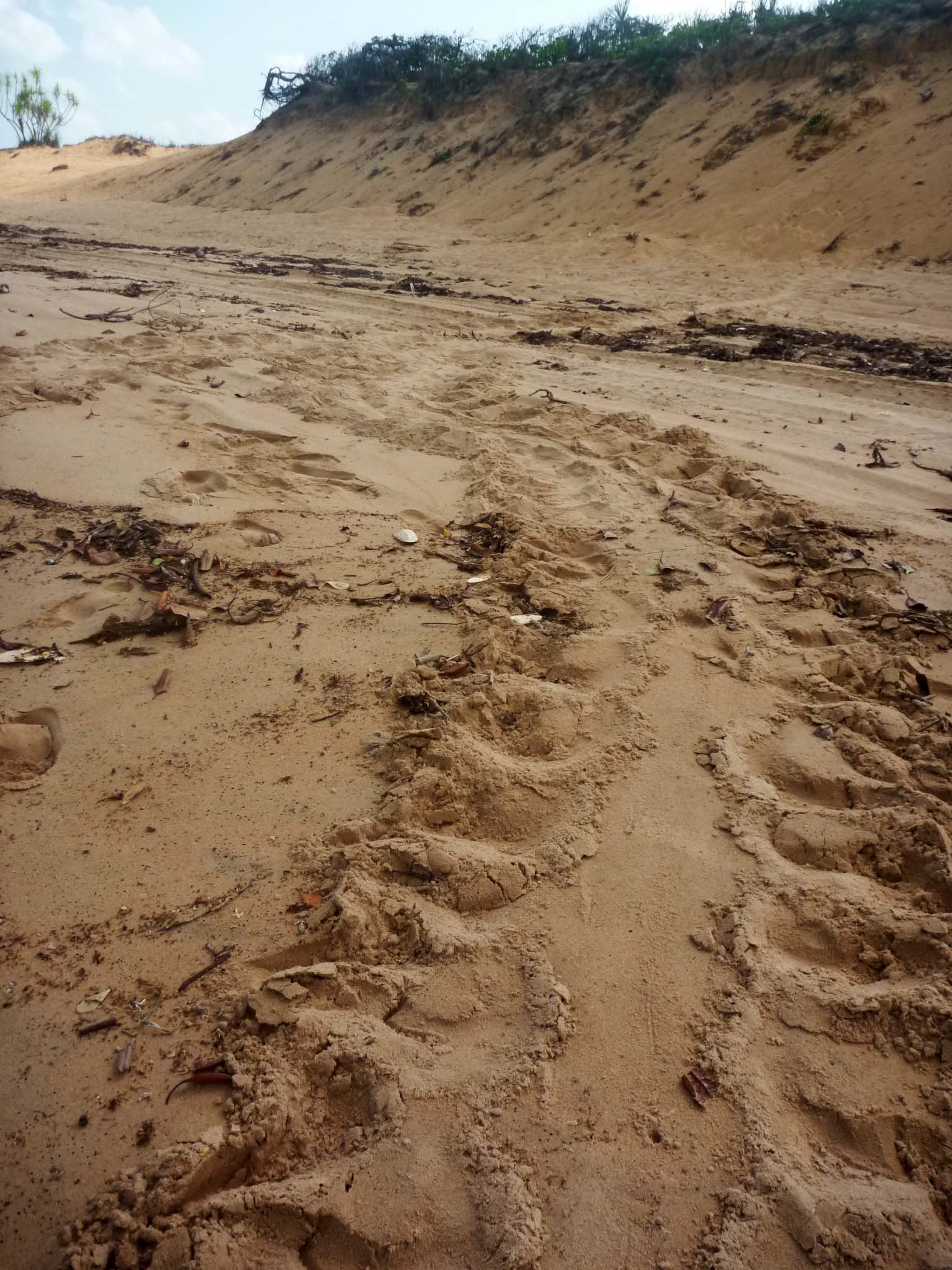 We find a lot of turtle tracks and nesting on this section of beach