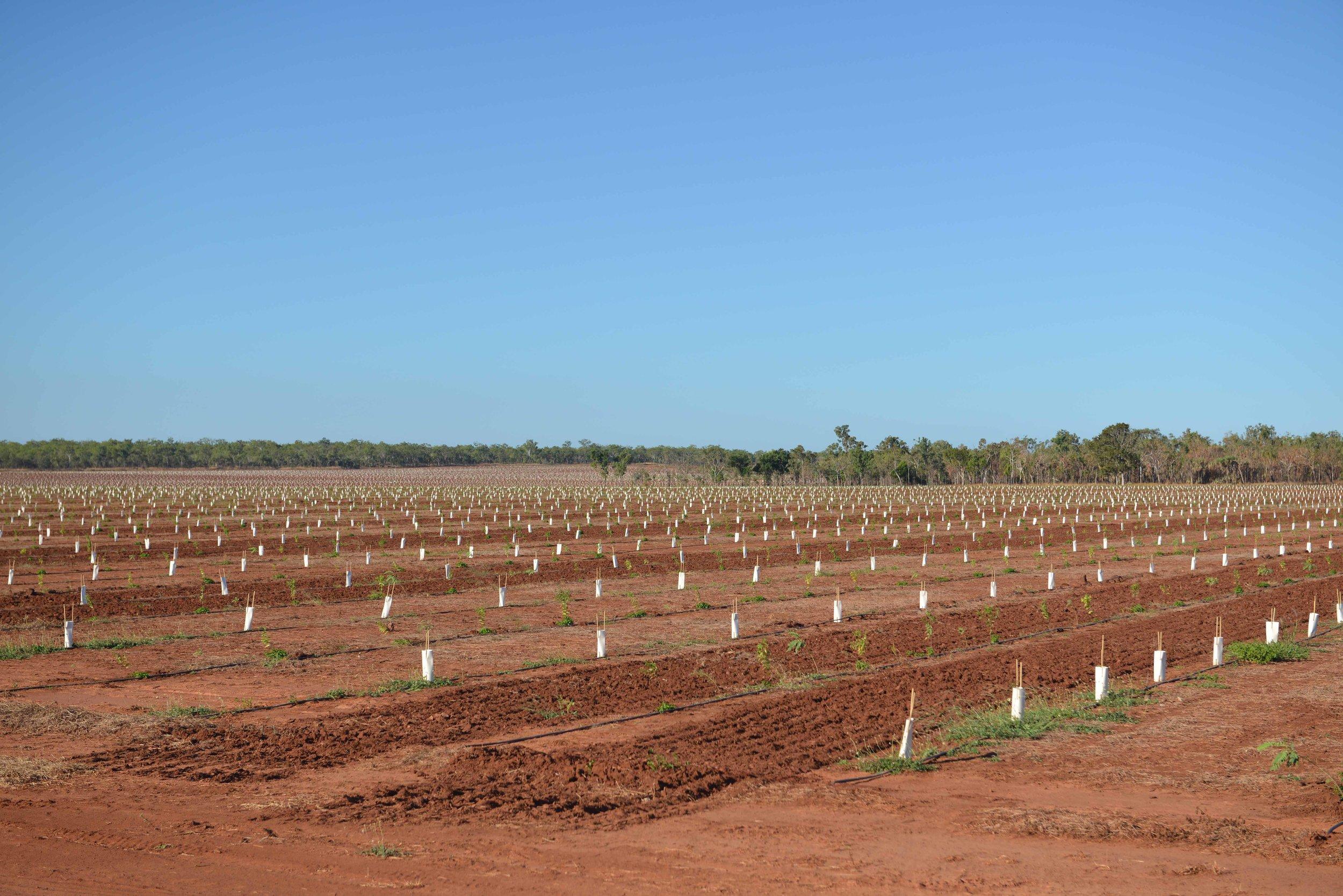 Sandalwood Plantation, Douglas Daly