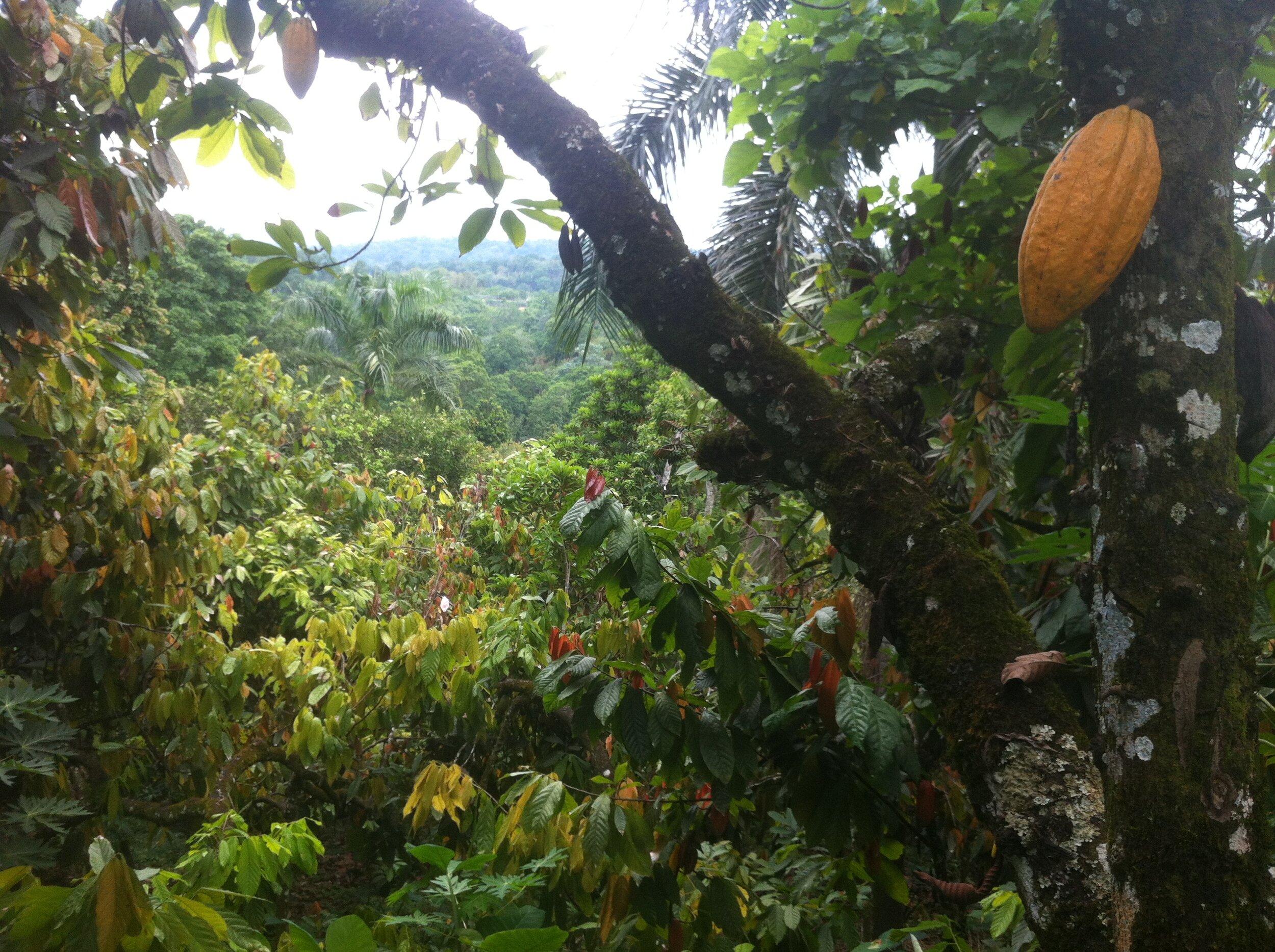 Cacaoculture en République Dominicaine