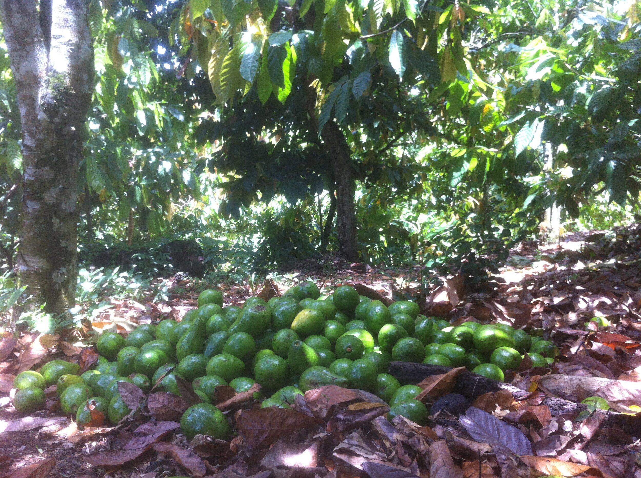 Récolte d'avocats dans une cacaoyère dominicaine