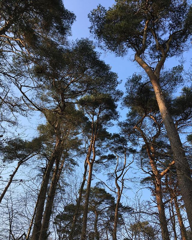My kid is away on a school trip so we're heading into the Beacons for a few days. Enjoying the company of local trees before we leave. Scots Pine magic for your week 💚