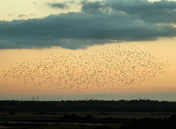 Minsmere at dawn - A murmuration of starlings moves above RSPB Minsmere