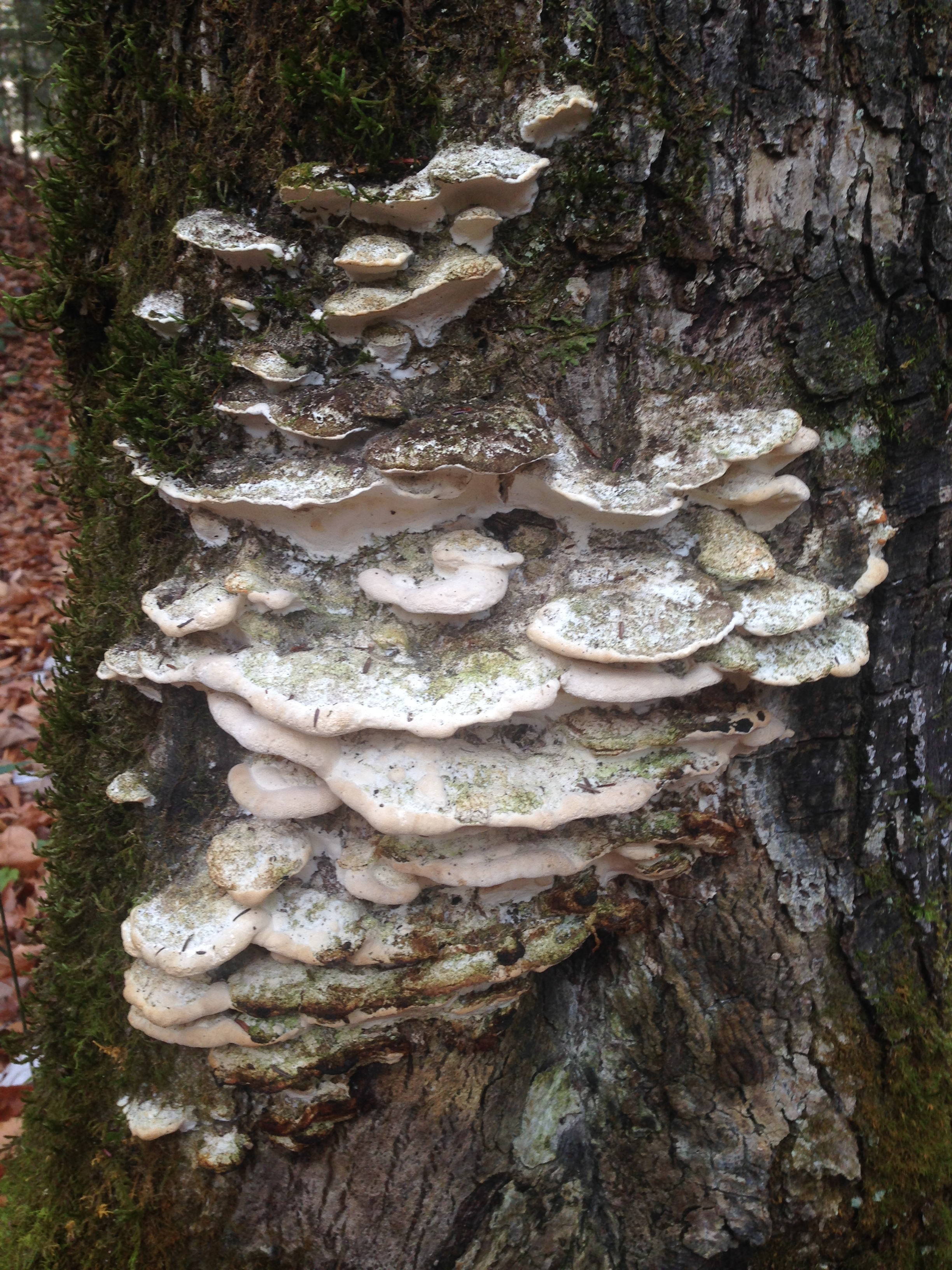 Mushrooms on the side of a tree