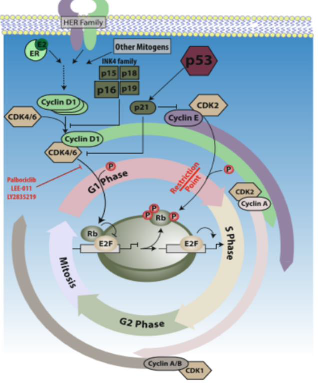 Figure 1: The cell cycle and the D: CDK4/6 pathway //    Breast Cancer Res.    2016 Feb 9;18(1):17. doi: 10.1186/s13058-015-0661-5.